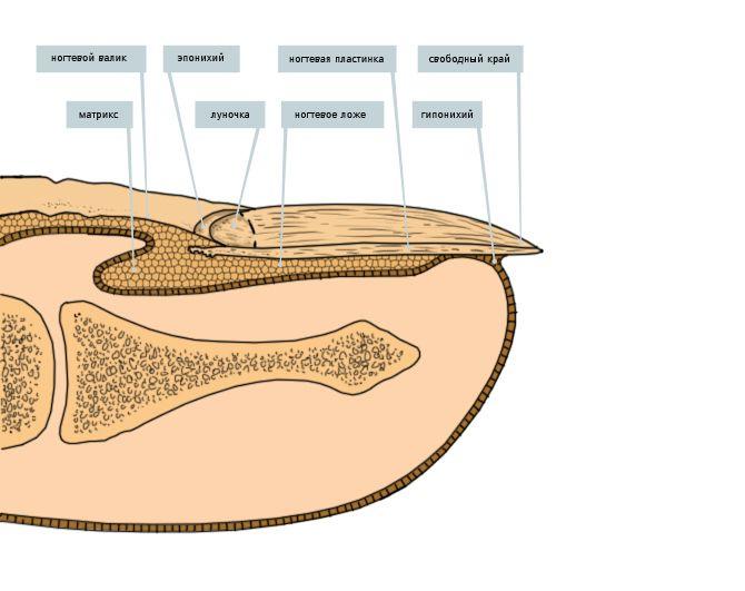 болезни ногтей ног1 Строение ногтя ноги.