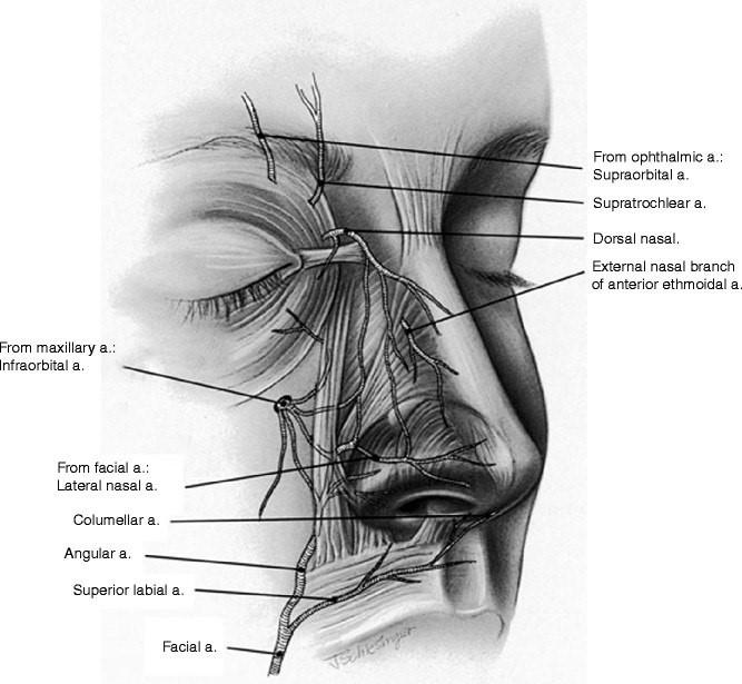 Артерии носа
